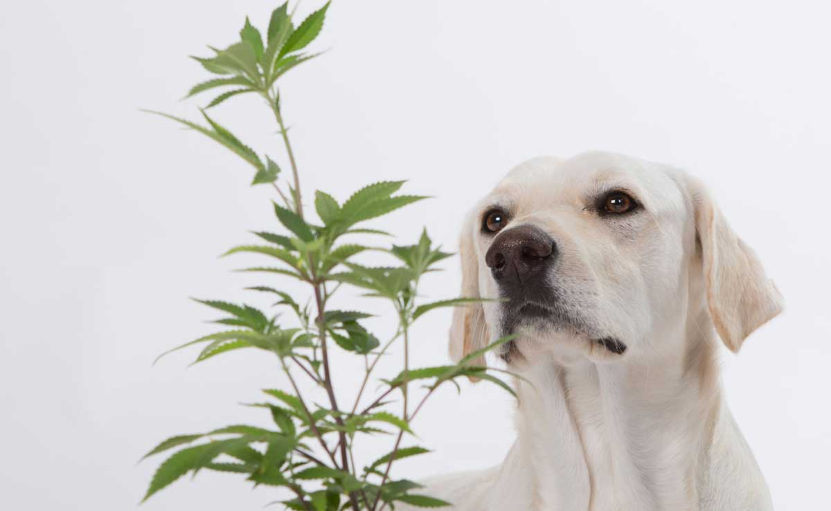 dog allergies cbd oil application